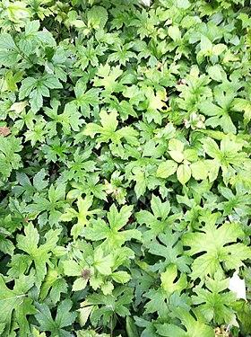 Hydrophyllum canadense SCA-0602.jpg