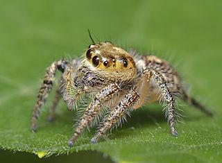 <i>Hyllus</i> (spider) genus of arachnids