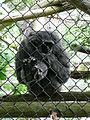 Hylobates moloch on mesh in Howletts Wild Animal Park 3.jpg