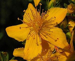 Echtes Johanniskraut (hypericum perforatum), a...