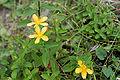 Hypericum kamtschaticum var. senanense 04.jpg