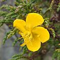 Hypericum myricariifolium (3).jpg