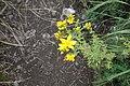 Hypericum perforatum L. (Hypericaceae).jpg
