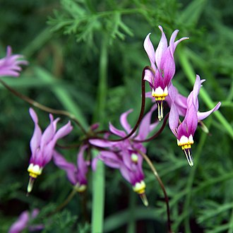 Dodecatheon - Dodecatheon pulchellum (Fidalgo Island, Washington)