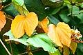 IMG 8230 ลักษณะใบ ย่านดาโอ๊ะ (Golden Leave Bauhinia) Photographed by Peak Hora.jpg