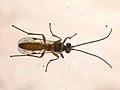 Ichneumonidae sp. (36596137766).jpg