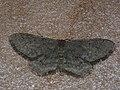 Idaea descitaria - Малая пяденица тёмная (40972353251).jpg