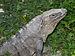 Iguana - Quintana Roo - México 1.jpg