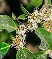 Ilex aquifolium in Aveyron (6).jpg