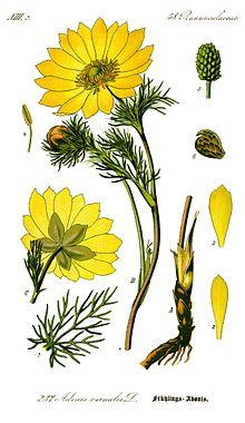 http://upload.wikimedia.org/wikipedia/commons/thumb/c/cc/Illustration_Adonis_vernalis0_clean.jpg/220px-Illustration_Adonis_vernalis0_clean.jpg