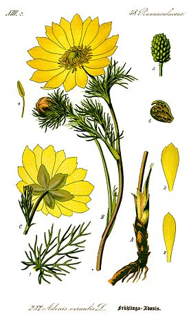 Illustration Adonis vernalis0 clean.jpg