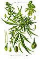 Illustration Cannabis sativa0 clean.jpg