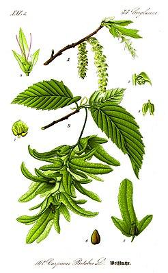 A Zweig mit Blütenständen, B Zweig mit Laubblättern und Fruchtständen.