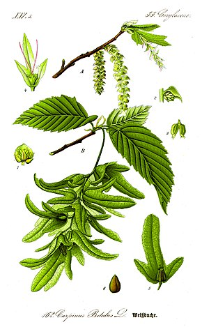 Description de l'image Illustration Carpinus betulus 1.jpg.