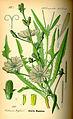Illustration Cichorium intybus0.jpg