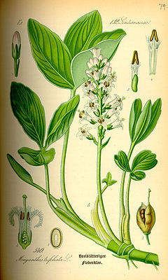 Fieberklee (Menyanthes trifoliata), Illustration