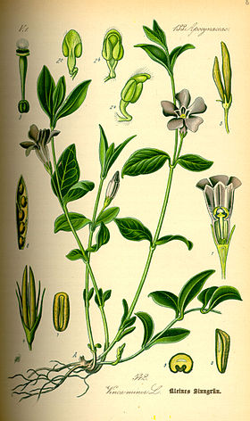 Illustration Vinca minor0.jpg