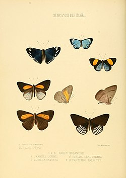 Illustrations of new species of exotic butterflies Hades, Uraneis, &c.jpg