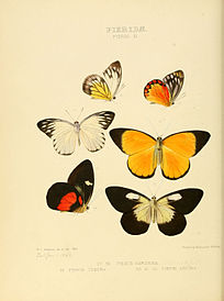 Illustrations of new species of exotic butterflies Pieris III.jpg