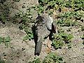 Inca Dove Grooming Its Feathers 2.jpg