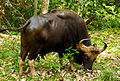 Indian Bison (Gaur) 1 by N. A. Naseer.jpg