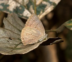 Indian Oakblue Arhopala atrax UN at Kanha Tiger Reserve, Madhya Pradesh IMG 9842 (4).jpg