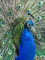 Indian Peafowl (19006360914).jpg