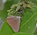 Indian Red Flash (Rapala jarbus) on Cassia fistula (Amaltas) at Hyderabad, AP W IMG 7181.jpg