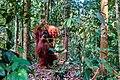 Indonesia - Bukit Lawang (26552954375).jpg
