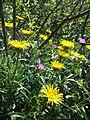 Inula hirta + Geranium sanguineum sl2.jpg