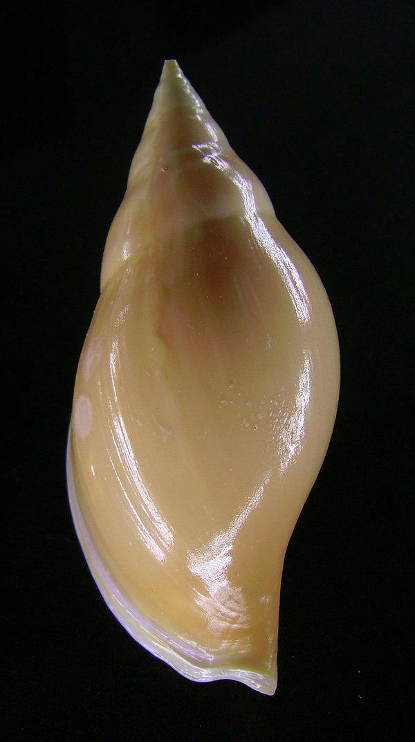 Golden volute