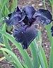 Iris × germanica 'Before the Storm' Flower.jpg