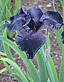 Iris × germanica 'Before the Storm' Flower.jpg