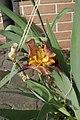 Iris Cultivar.jpg