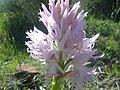 Iris angel2.jpg