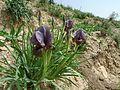 Iris haynei (6915085864).jpg