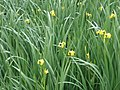 Iris pseudacorus L. (AM AK293446-2).jpg