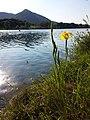 Iris pseudacorus sl11.jpg