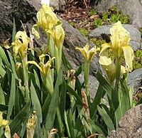 Iris reichenbachii 02