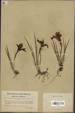 Iris ruthenica Ker Gawl.(MNHN P01840764).jpg