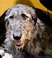 Irish wolfhound (7982316132).jpg