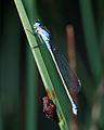 Ischnura heterosticta tasmanica.jpg