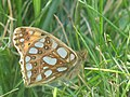 Issoria lathonia - Queen of Spain fritillary - Перламутровка полевая (39334112150).jpg