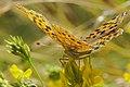 Issoria lathonia Kl Perlmuttfalter 160703-0721 TegelFließ SOOCx.jpg