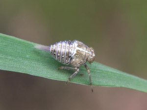 File:Issus coleoptratus, nymph - 2013-06-16.webm