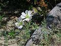 J20150605-0021—Oenothera deltoides ssp howellii—RPBG (18500686660).jpg