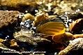 JEZEBEL butterflies of India (4711958296).jpg