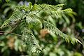 Jacaranda (Jacaranda mimosifolia) leaves in Hyderabad, AP W IMG 6740.jpg