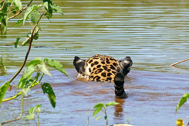 File:Jaguar (Panthera onca) male swimming (29139674626).jpg