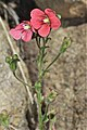 Jamesbrittenia breviflora (Scrophulariaceae) (6932198817).jpg